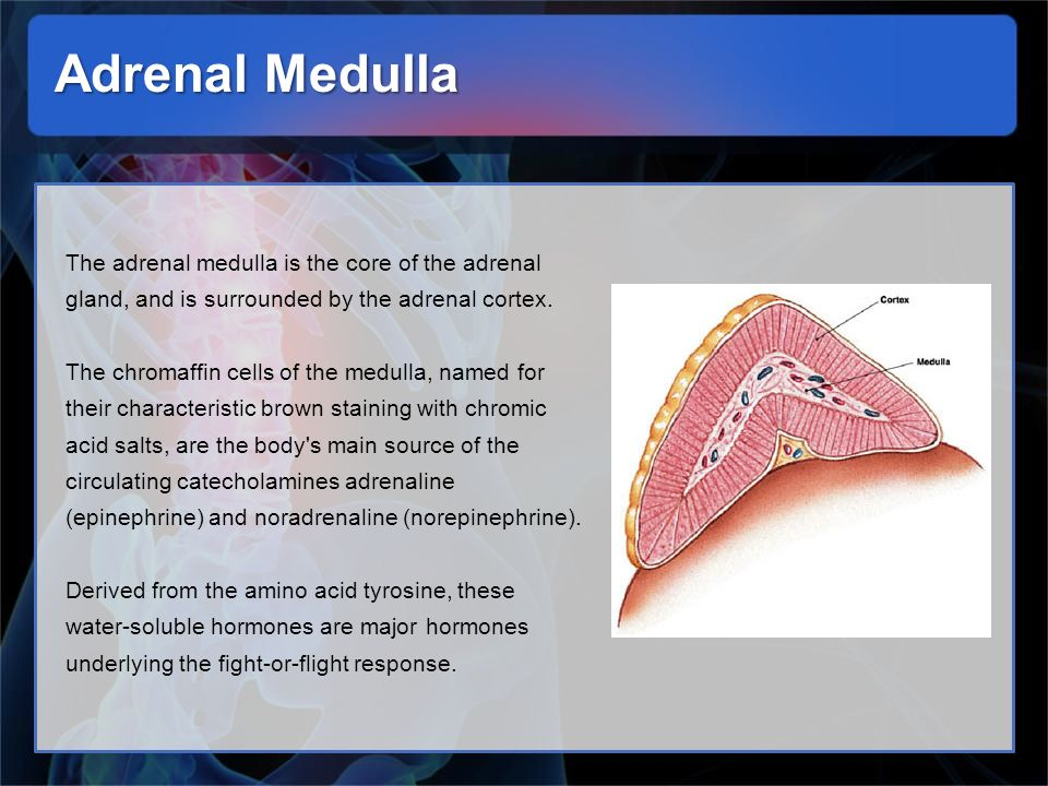 Adrenal Medulla The adrenal medulla is the core of the adrenal gland, and is surrounded by the adrenal cortex.