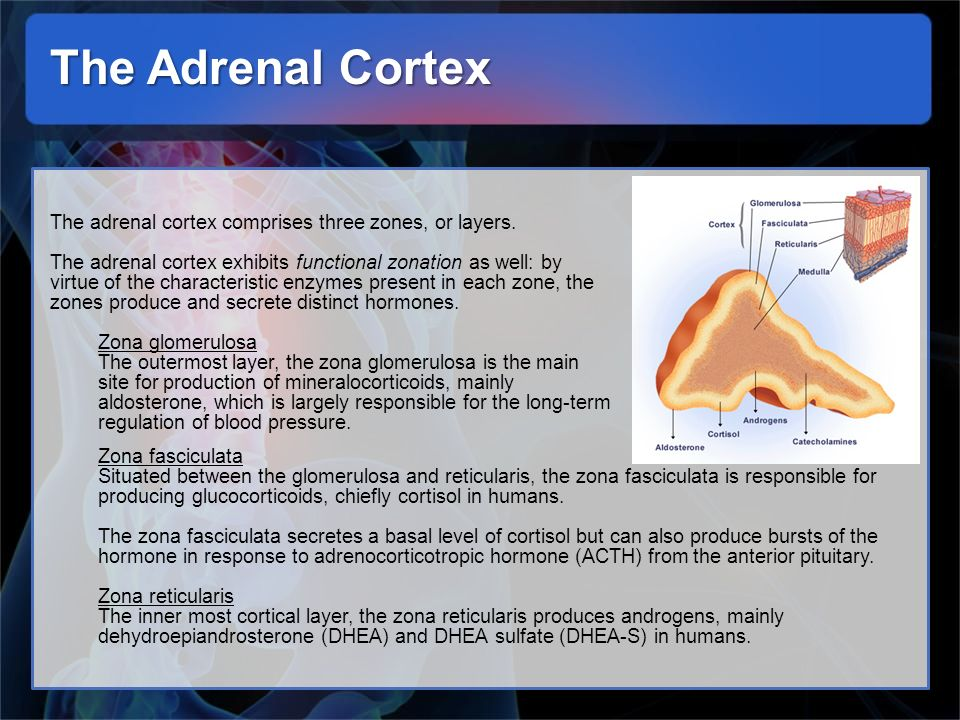 The Adrenal Cortex The adrenal cortex comprises three zones, or layers.