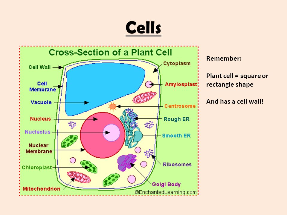 Plant Cell Diagram Square Diy Enthusiasts Wiring Diagrams