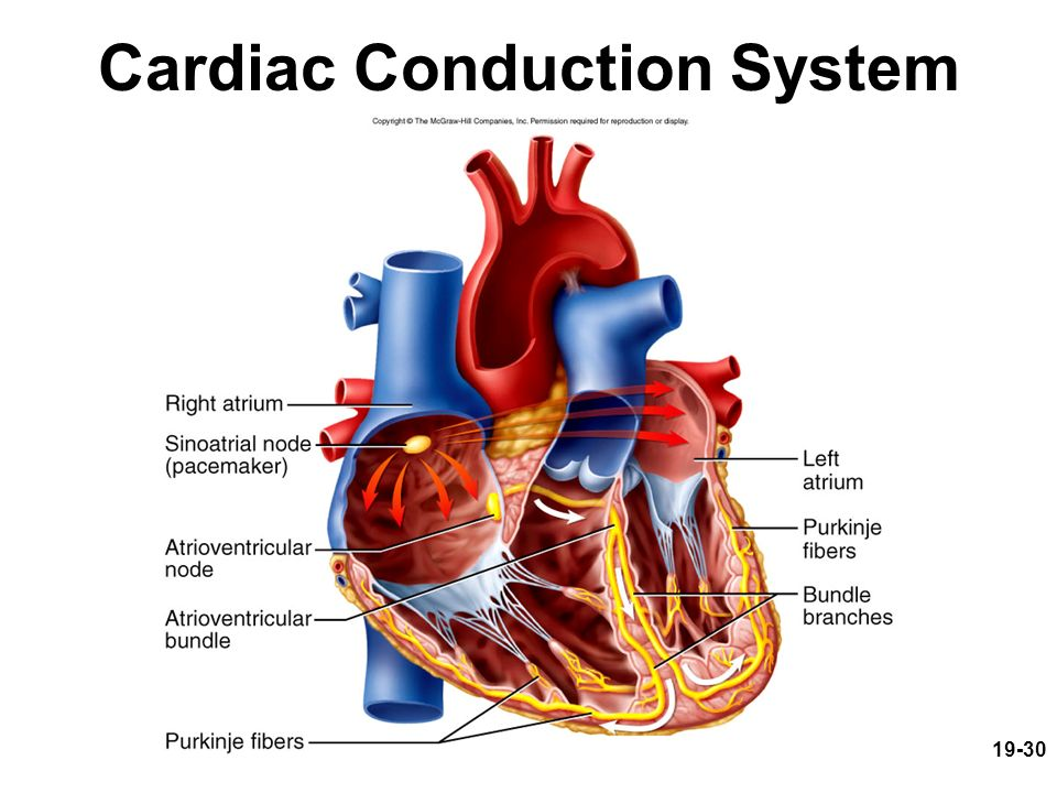 Chapter 19 The Circulatory System: The Heart Lecture PowerPoint ...