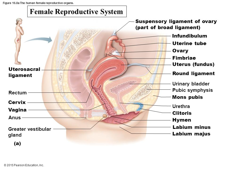 The reproductive system ppt video online download figure 168a the human female reproductive organs ccuart Gallery