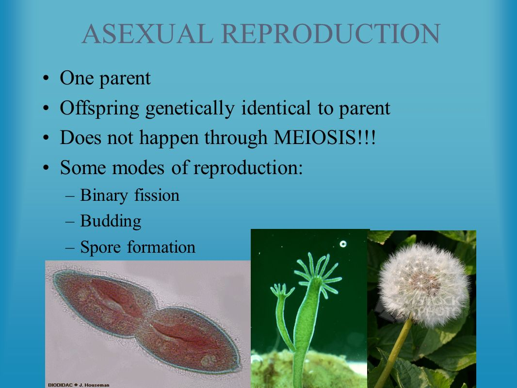 Spore formation in asexual reproduction how many parents