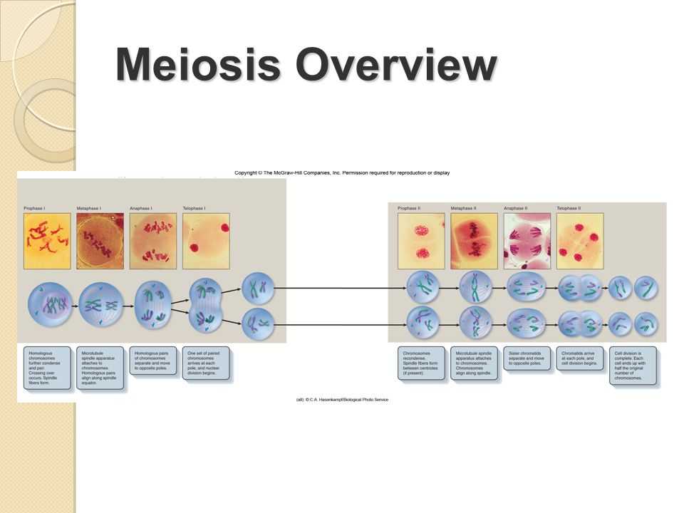 Meiosis Overview
