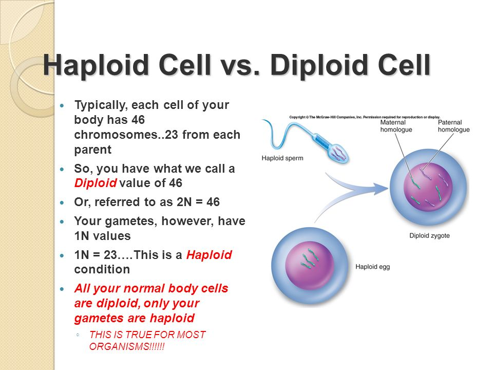 Are sex cells haploid or diploid galleries 20