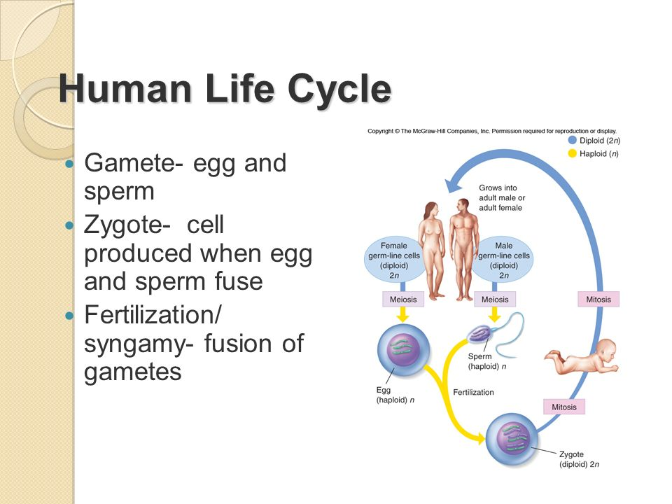 Human Life Cycle Gamete- egg and sperm
