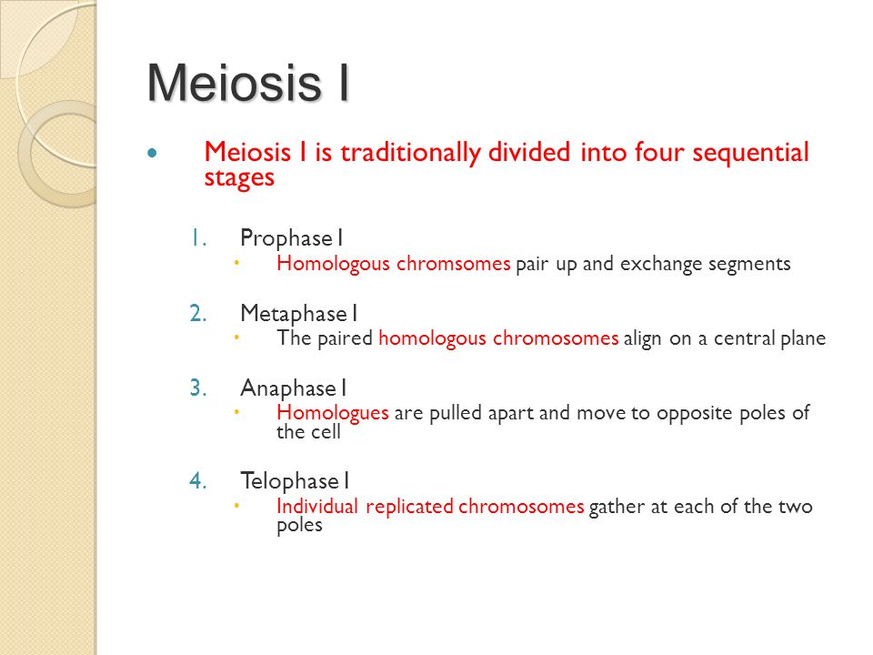 Meiosis I Meiosis I is traditionally divided into four sequential stages. Prophase I. Homologous chromsomes pair up and exchange segments.