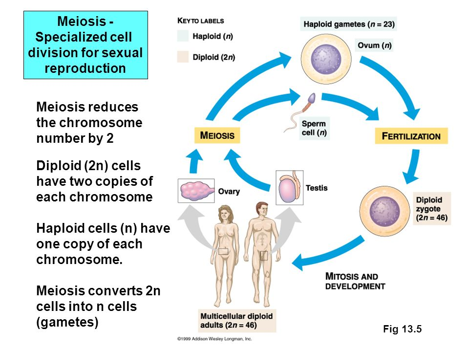 Chapter cell division mitosis ppt download 5 meiosis specialized ccuart Gallery