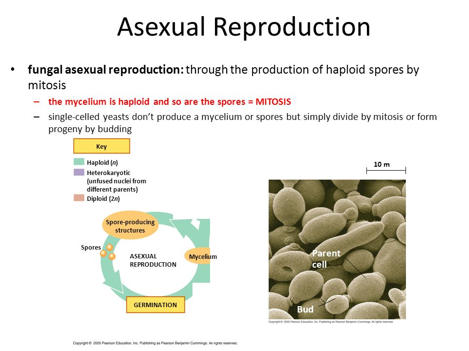 Mycelia produced in asexual reproduction are diploid
