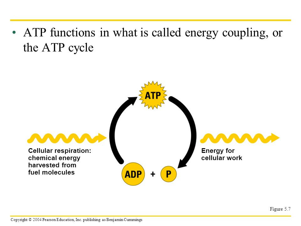 ATP functions in what is called energy coupling, or the ATP cycle