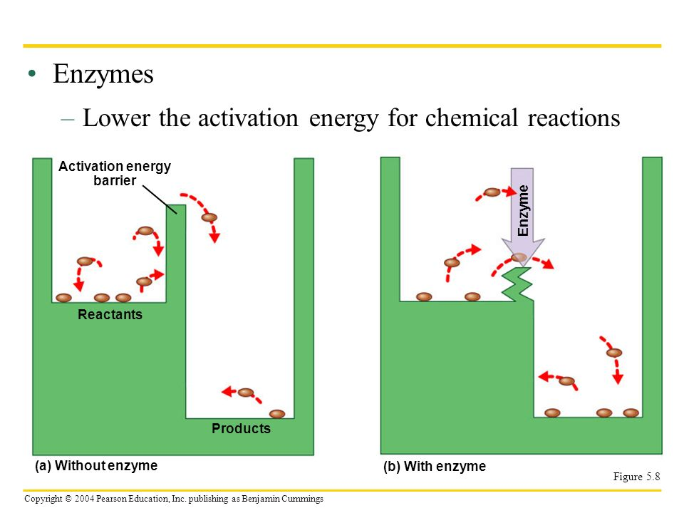 Enzymes Lower the activation energy for chemical reactions
