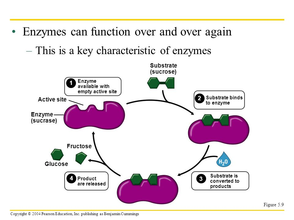 Enzymes can function over and over again