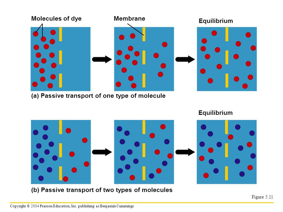 (a) Passive transport of one type of molecule