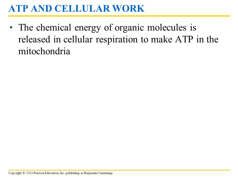 ATP AND CELLULAR WORK The chemical energy of organic molecules is released in cellular respiration to make ATP in the mitochondria.