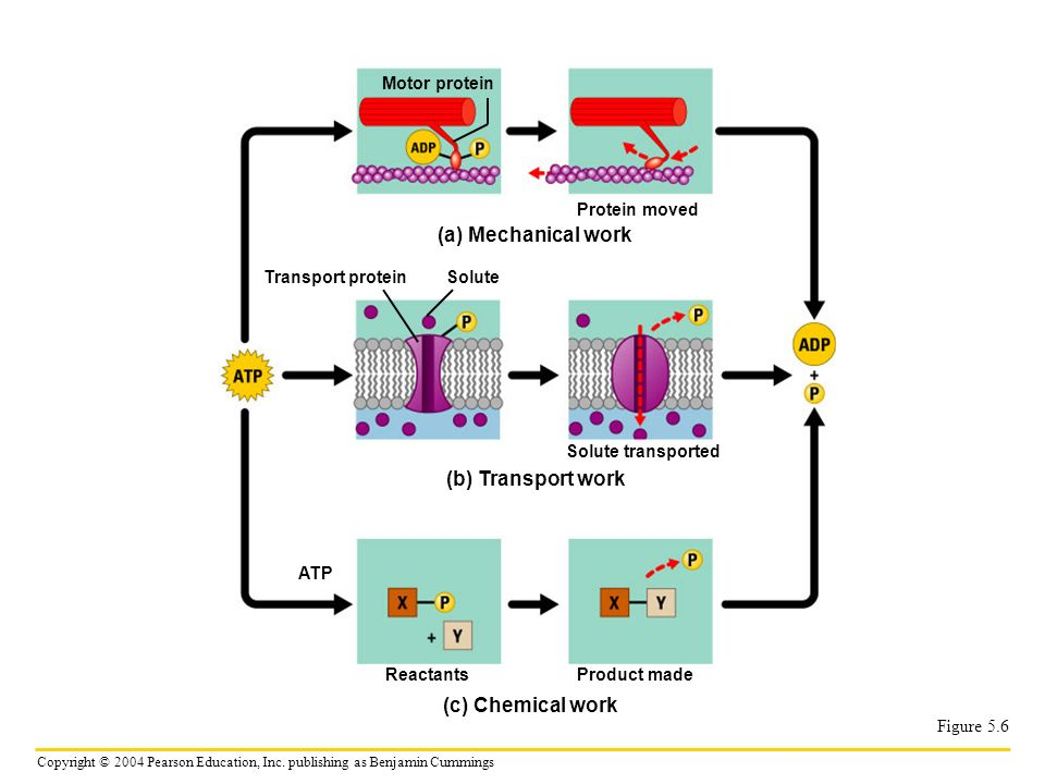 (a) Mechanical work (b) Transport work (c) Chemical work Motor protein