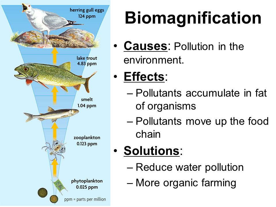 Biomagnification Causes: Pollution in the environment. Effects: