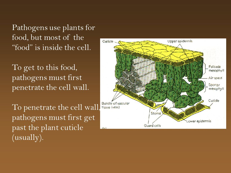 Pathogens use plants for food, but most of the food is inside the cell.