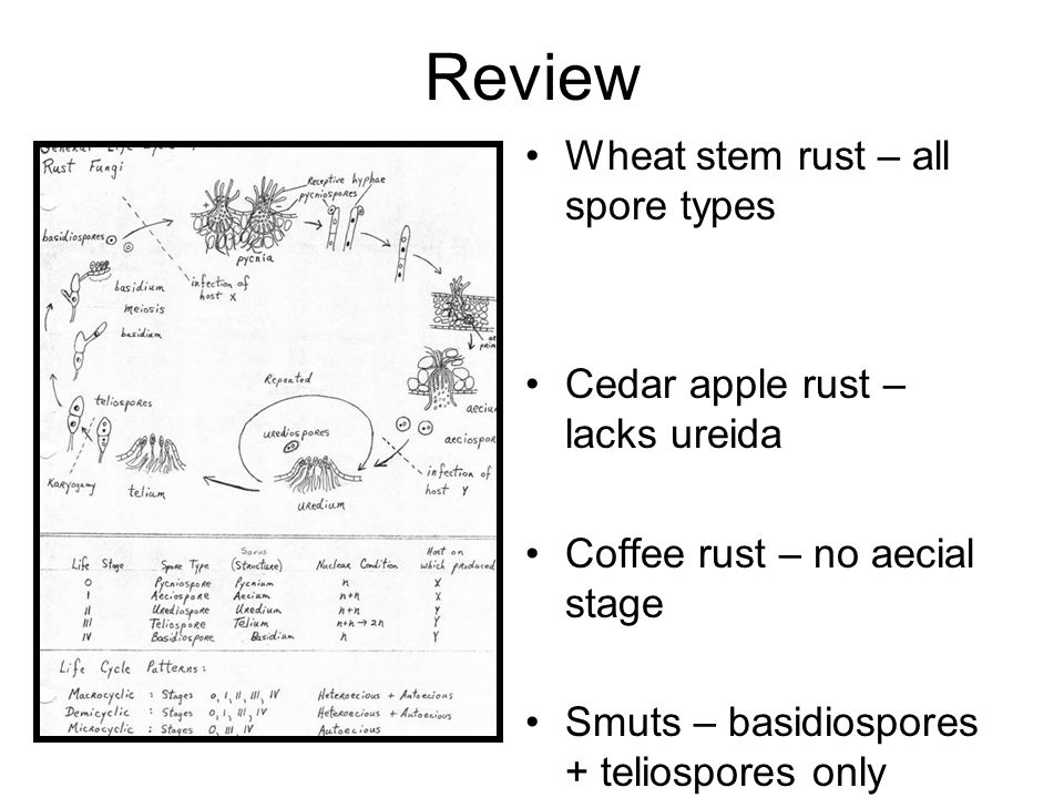 Review Wheat stem rust – all spore types