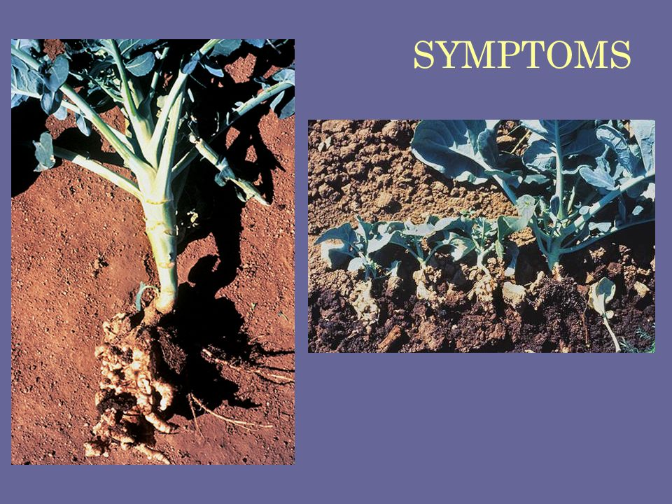 SYMPTOMS Clubroot of cabagge Plasmodiophora brassicae