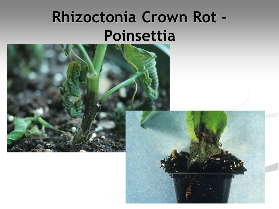 Rhizoctonia Crown Rot – Poinsettia