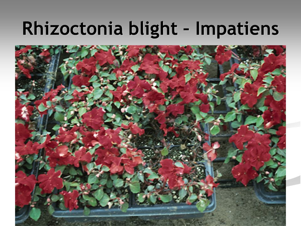Rhizoctonia blight – Impatiens
