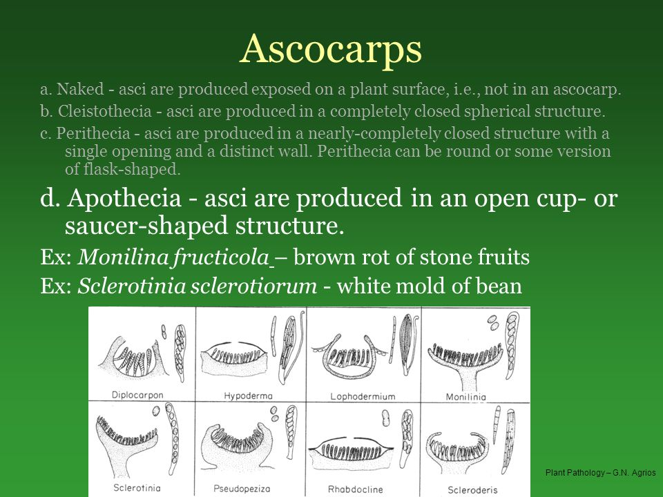 Ascocarps a. Naked - asci are produced exposed on a plant surface, i.e., not in an ascocarp.