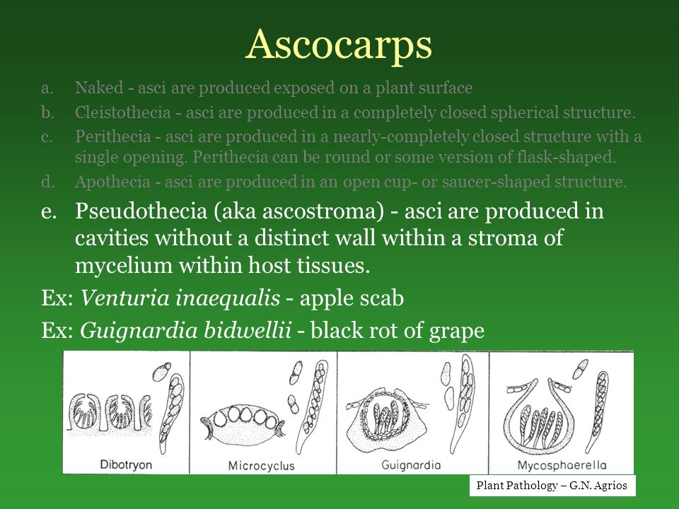 Ascocarps Naked - asci are produced exposed on a plant surface. Cleistothecia - asci are produced in a completely closed spherical structure.