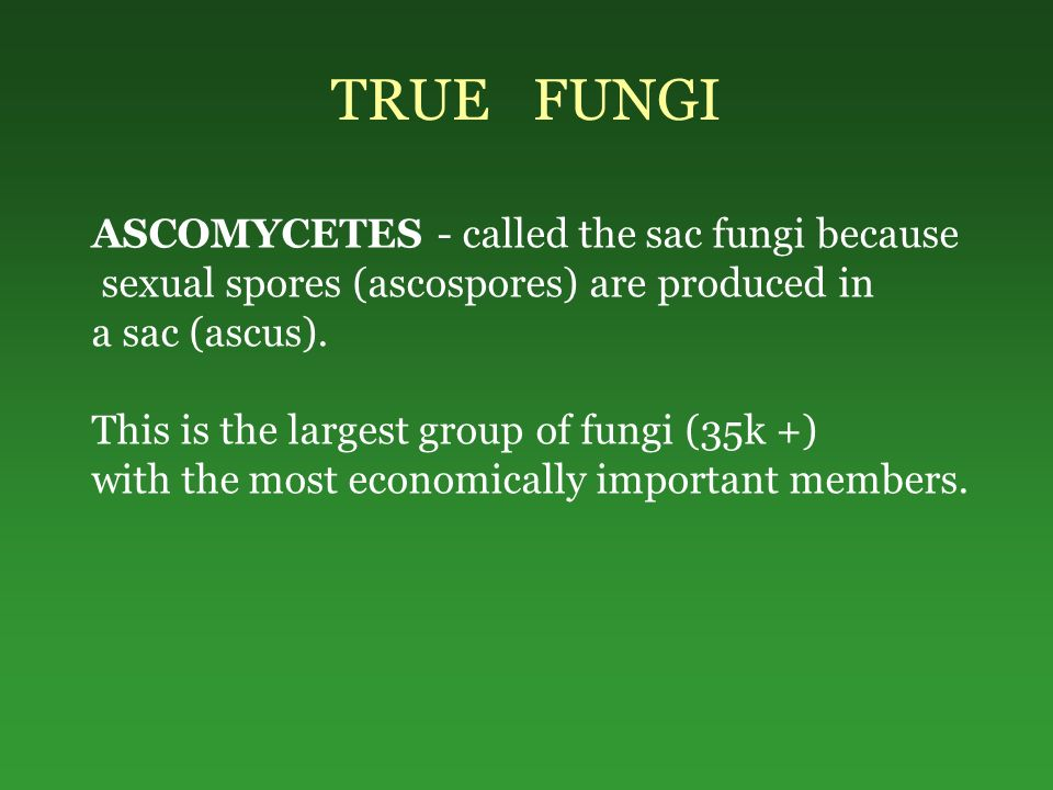 TRUE FUNGI ASCOMYCETES - called the sac fungi because