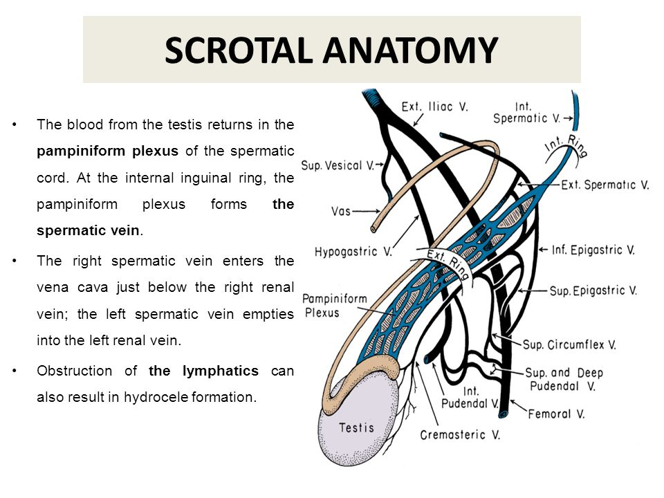 SCROTAL SONOGRAPHY REVISITED - ppt video online download