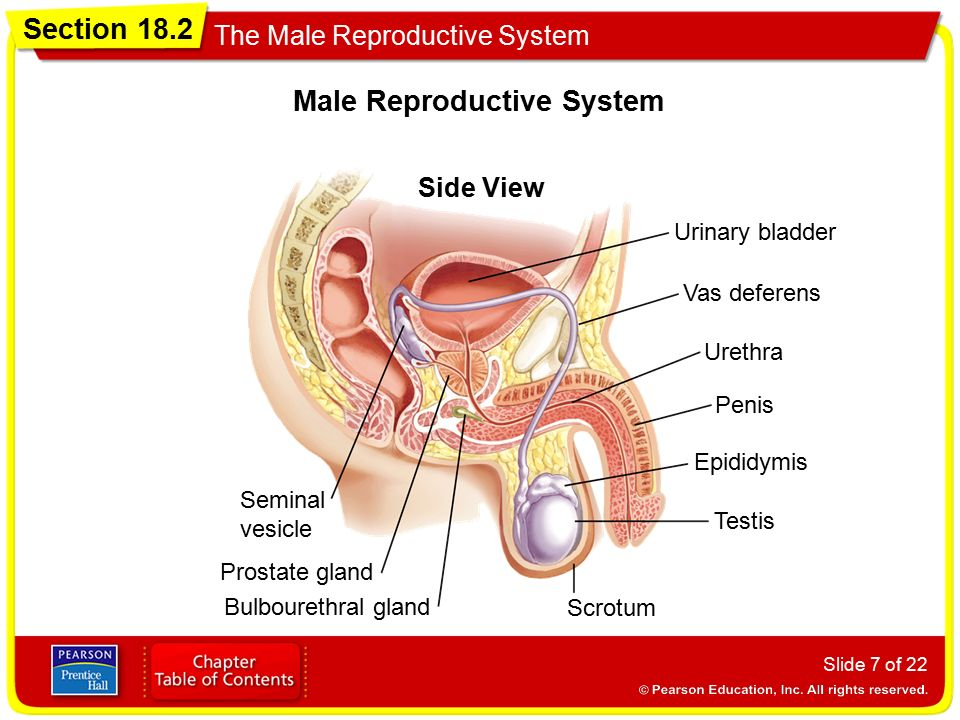Side View Female Reproductive Diagram Prentice Hall All Kind Of