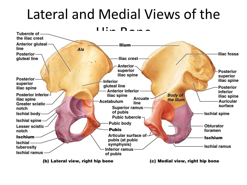 Diagram Pelvic Bone Medial View Great Installation Of Wiring Diagram