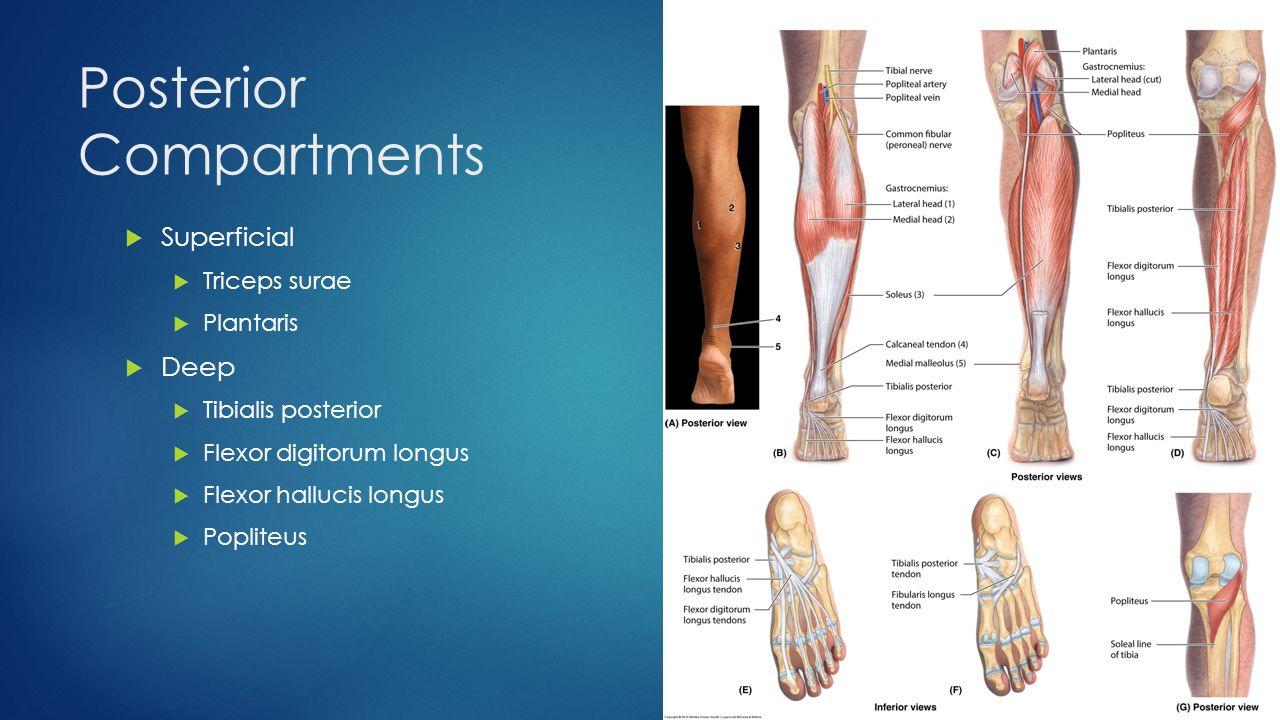 Hip biomechanics, Lumbosacral plexus, and Leg Musculature - ppt ...
