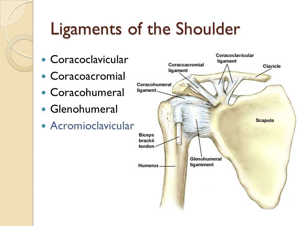 The Shoulder Ppt Video Online Download