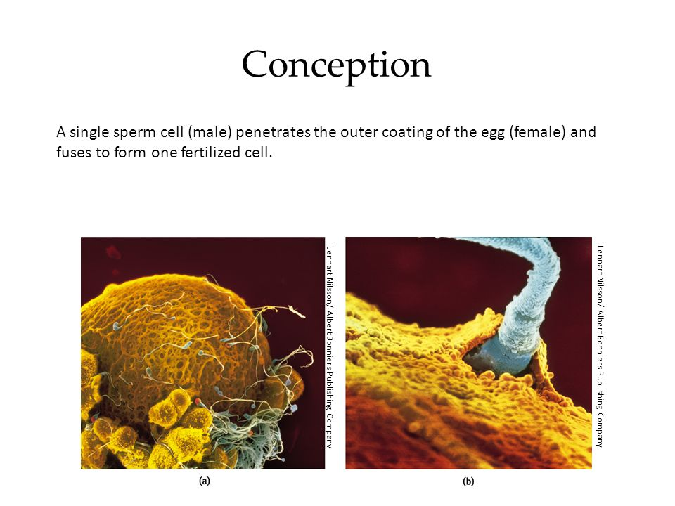 Conception A single sperm cell (male) penetrates the outer coating of the egg (female) and fuses to form one fertilized cell.