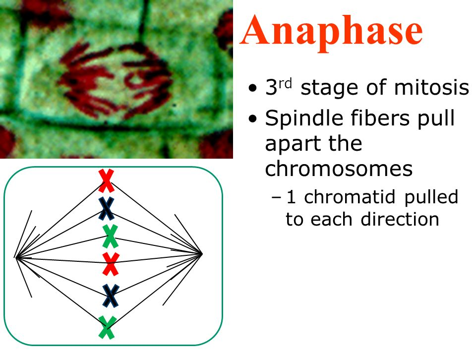 Anaphase 3rd stage of mitosis