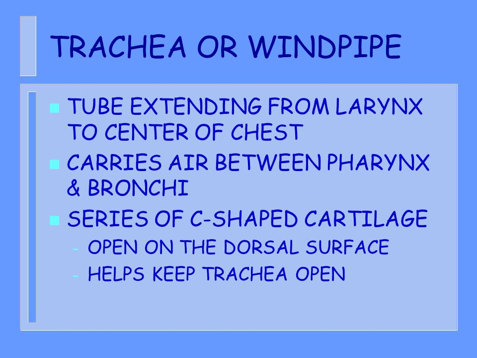 TRACHEA OR WINDPIPE TUBE EXTENDING FROM LARYNX TO CENTER OF CHEST