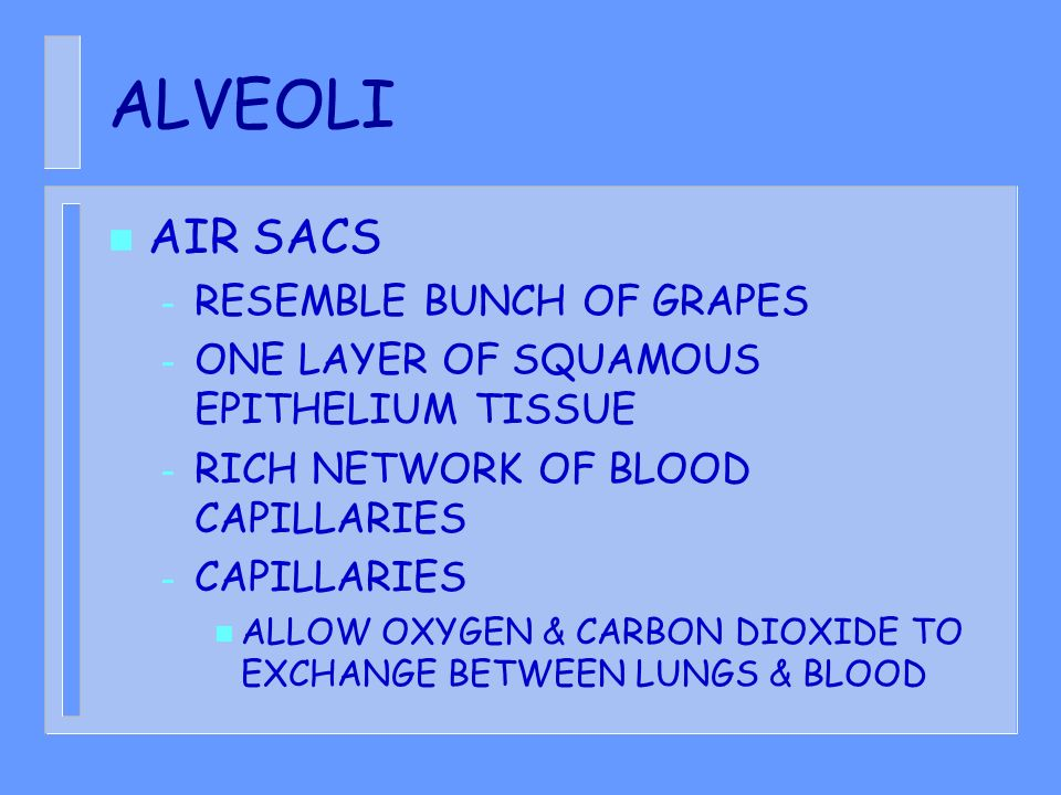 ALVEOLI AIR SACS RESEMBLE BUNCH OF GRAPES
