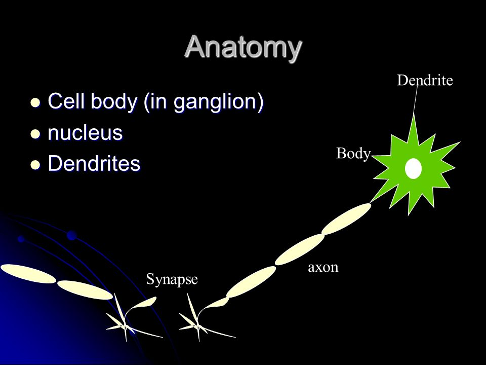 Anatomy Cell body (in ganglion) nucleus Dendrites Dendrite Body axon