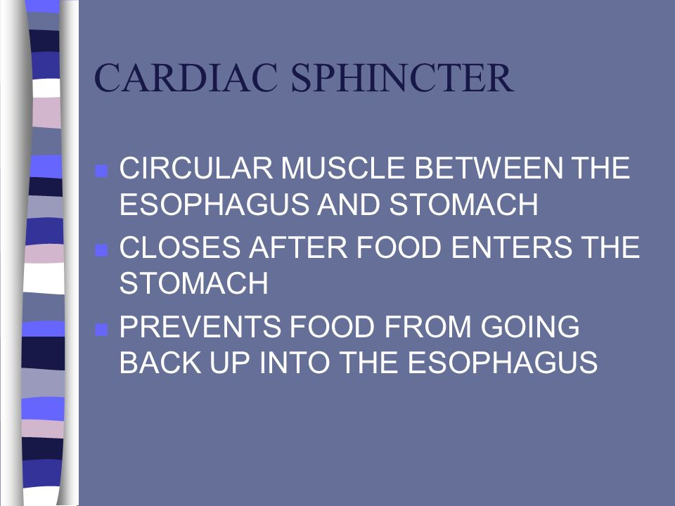 CARDIAC SPHINCTER CIRCULAR MUSCLE BETWEEN THE ESOPHAGUS AND STOMACH