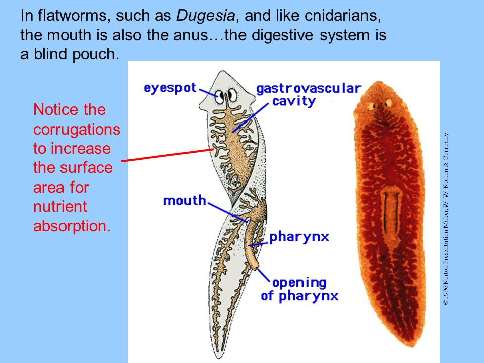 In flatworms, such as Dugesia, and like cnidarians, the mouth is also the anus…the digestive system is a blind pouch.