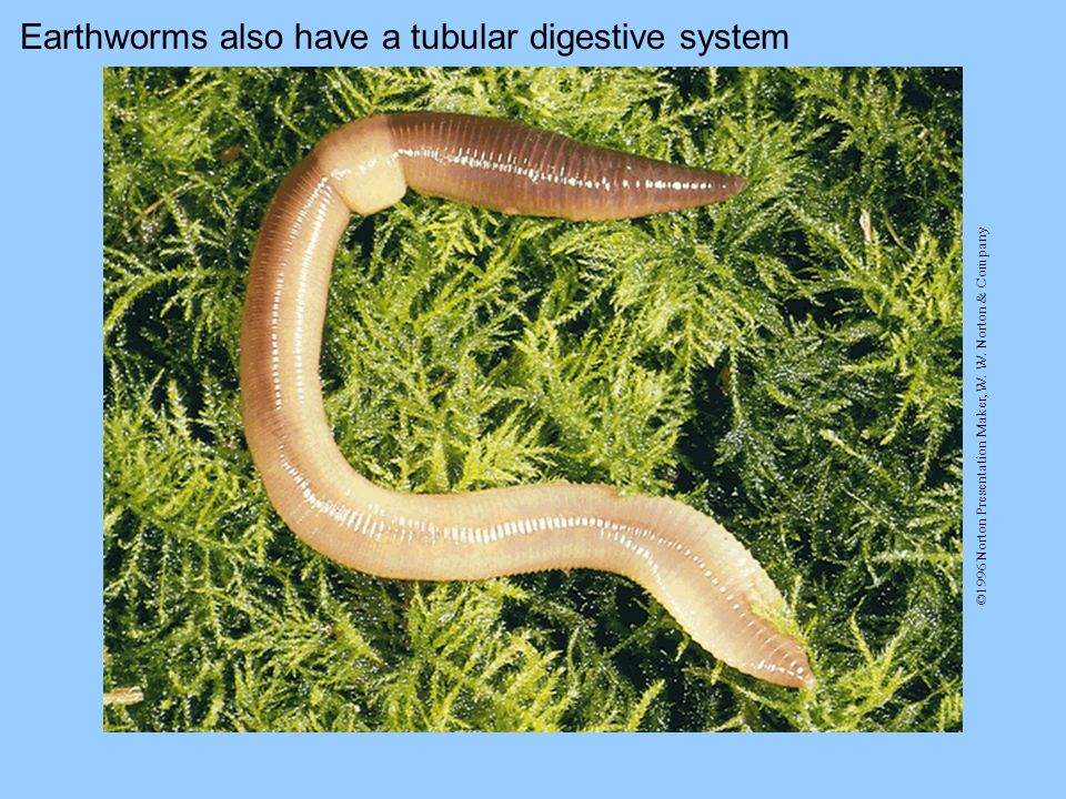 Earthworms also have a tubular digestive system