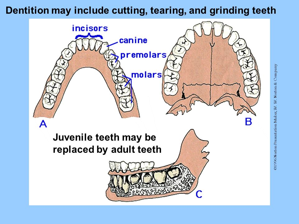 Dentition may include cutting, tearing, and grinding teeth