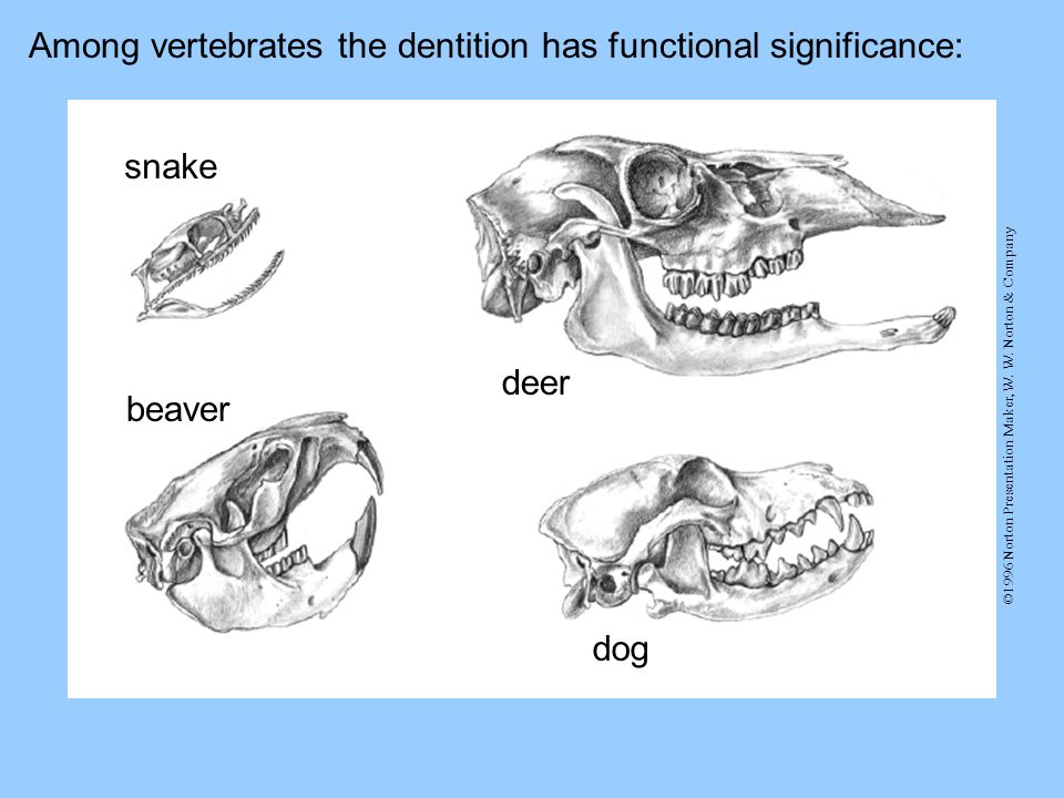 Among vertebrates the dentition has functional significance: