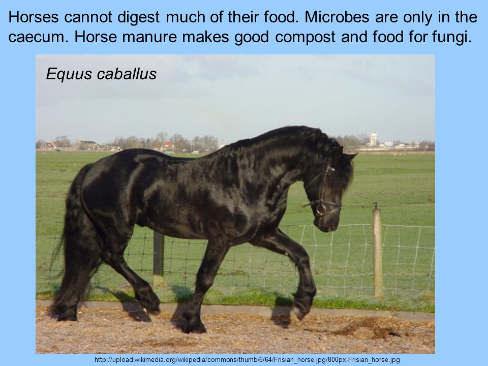 Horses cannot digest much of their food