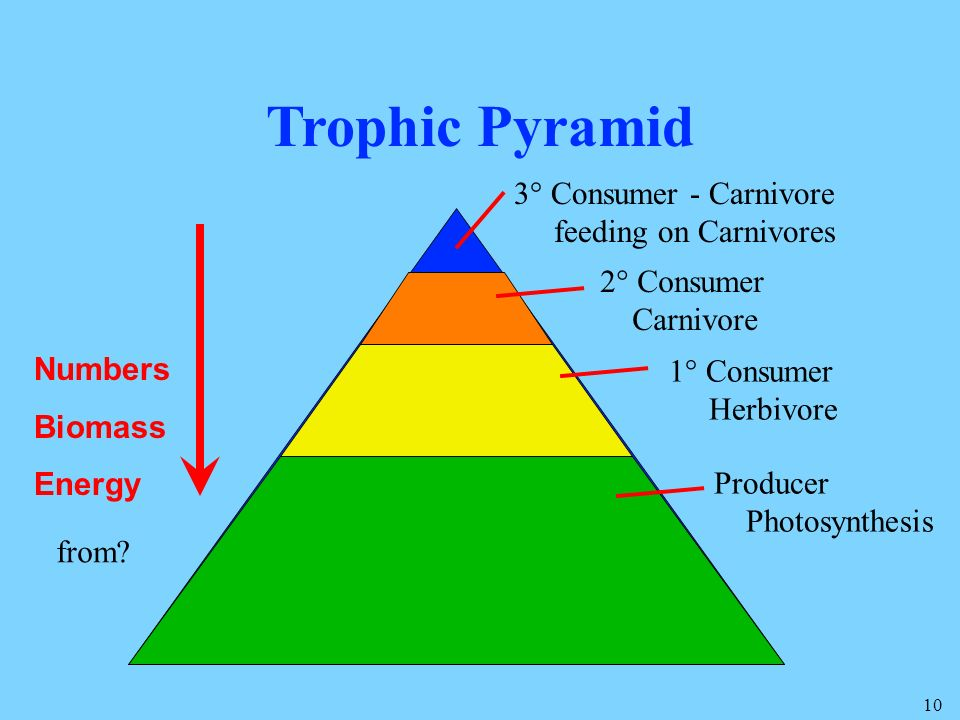 Trophic Pyramid 3° Consumer - Carnivore feeding on Carnivores