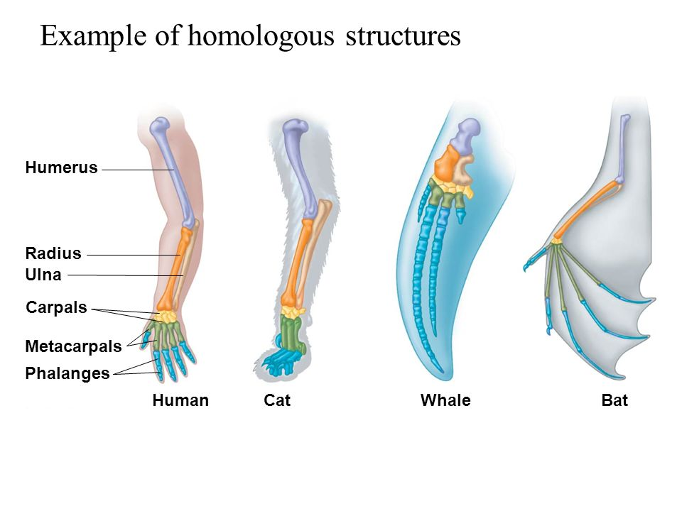 Homologous And Analogous Structures Ppt Download