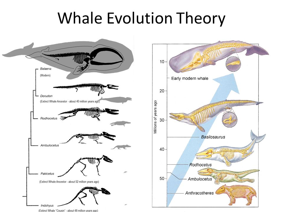 Whale Evolution Diagram Anatomy - Online Schematic Diagram •