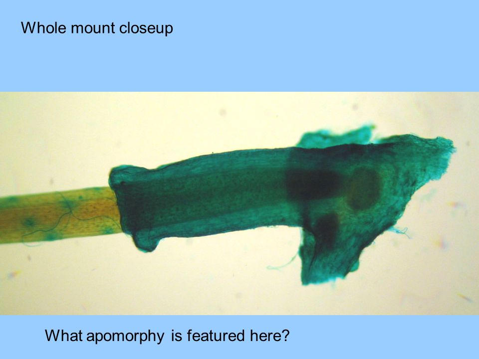 Whole mount closeup What apomorphy is featured here