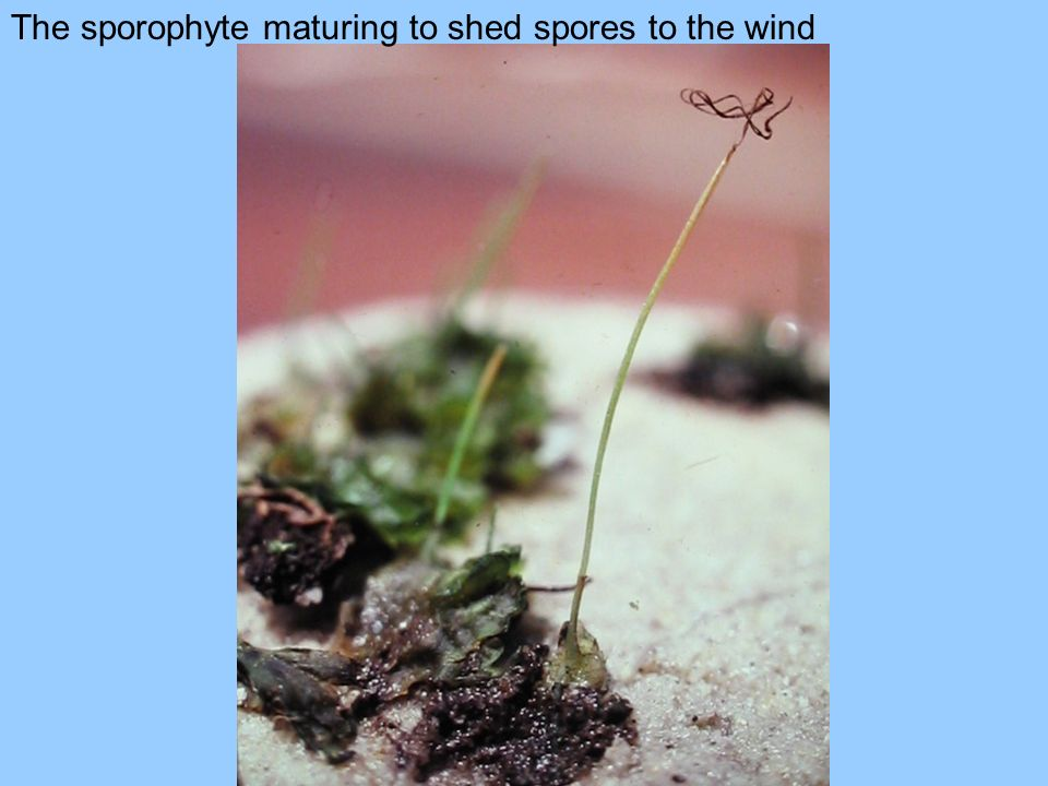 The sporophyte maturing to shed spores to the wind
