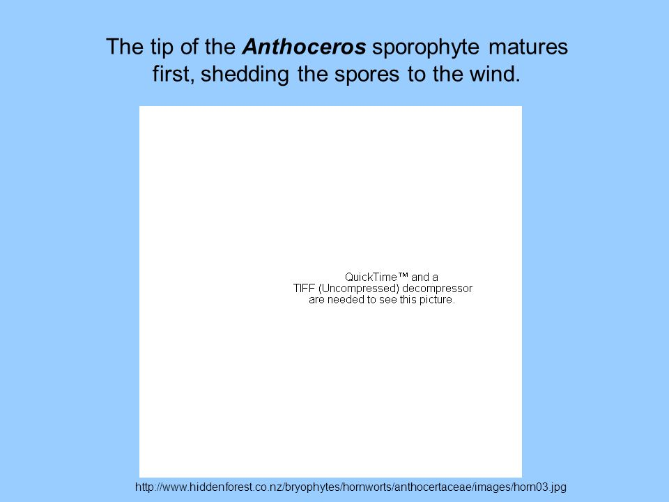 The tip of the Anthoceros sporophyte matures first, shedding the spores to the wind.