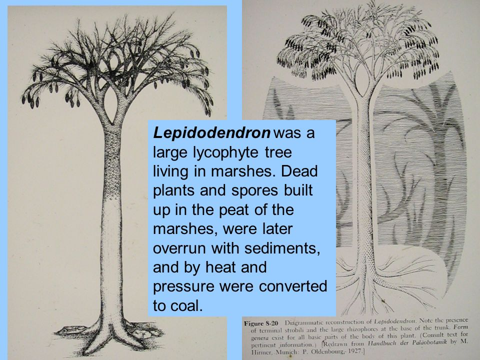 Lepidodendron was a large lycophyte tree living in marshes